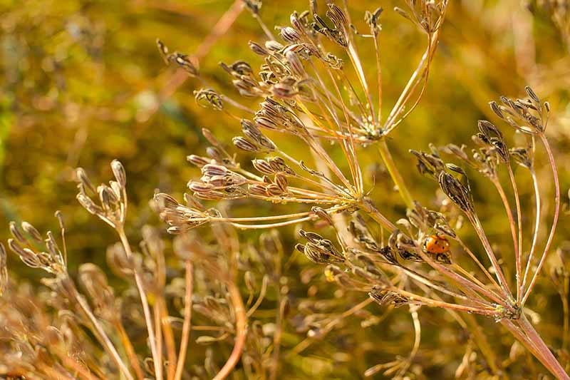 A close up of the dried flower stems of the Cuminum cyminum with seeds ready to harvest in light sunshine on a soft focus background.