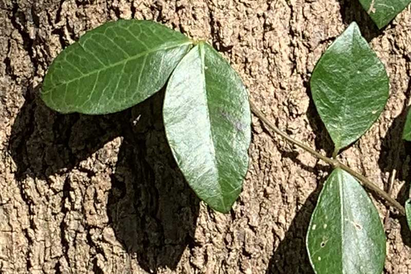 Close up of the leaves of an Asiatic jasmine plant growing up the trunk of a tree in bright sunshine.