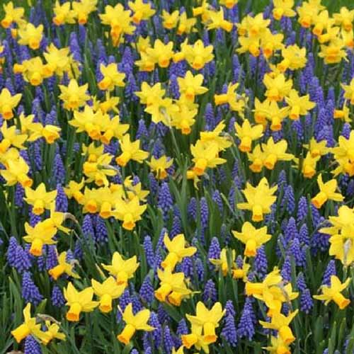 A close up of a field of hyacinth and daffodil flowers with foliage in between the yellow contrasting with the blue flowers and green upright leaves.