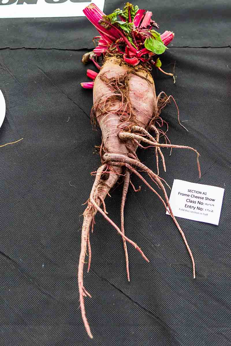 A vertical picture showing a beet root that has become deformed before harvest, with the bright purple stems still visible, but the foliage removed, set on a black surface with a small white sign with black text to the right of the frame.