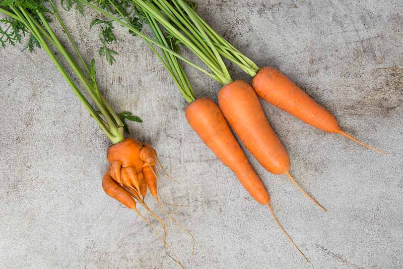 Three straight short carrots set on a gray surface next to a small deformed root demonstrating the difference.