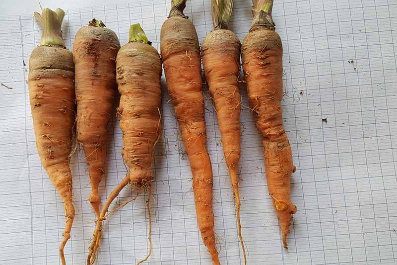 A collection of different shaped and sized carrots freshly dug from the soil with tops removed set on white graph paper.
