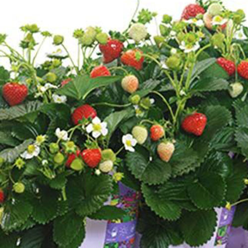 A close up of a strawberry plant of the 'Delizz' variety growing in a container with dark green foliage, white flowers, and some ripe red fruits.