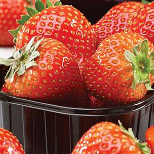 A black plastic container containing ripe red 'Delizzimo' strawberries pictured close up.