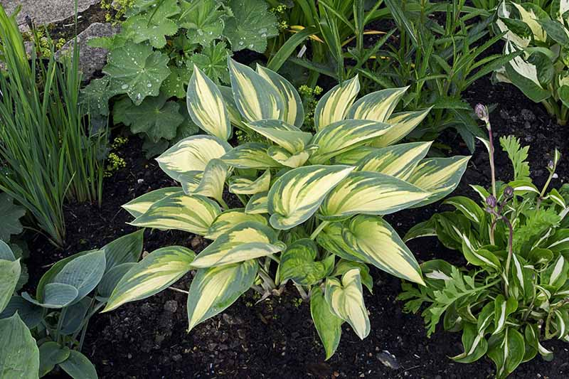 A close up of the small 'June' variety of hosta growing in a mixed planting in a shady spot in the garden. This cultivar has variegated lime green and gold leaves with blue-green edges and accents.