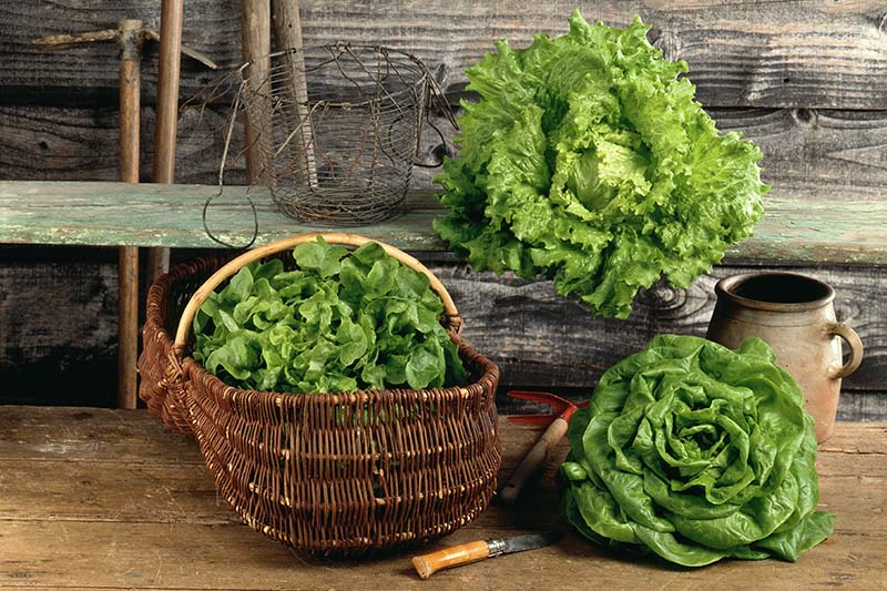 Three different types of lettuce, one pictured in a rustic basket set on a wooden surface, another set directly on the wooden surface, the third frilly one set on a rustic green shelf next to a wire basket. In the background is a wood slatted wall.