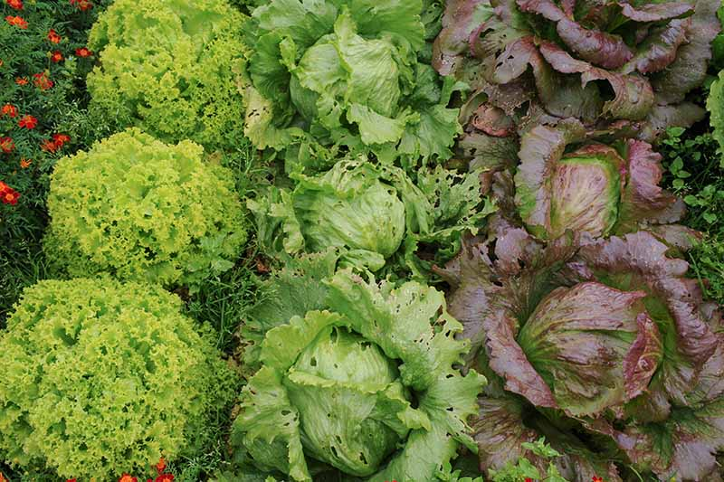 Three different lettuce varieties growing in rows in the garden, to the left is a green frilly variety, in the center is iceberg, and to the left is an unusual red cultivar called 'Sioux.'