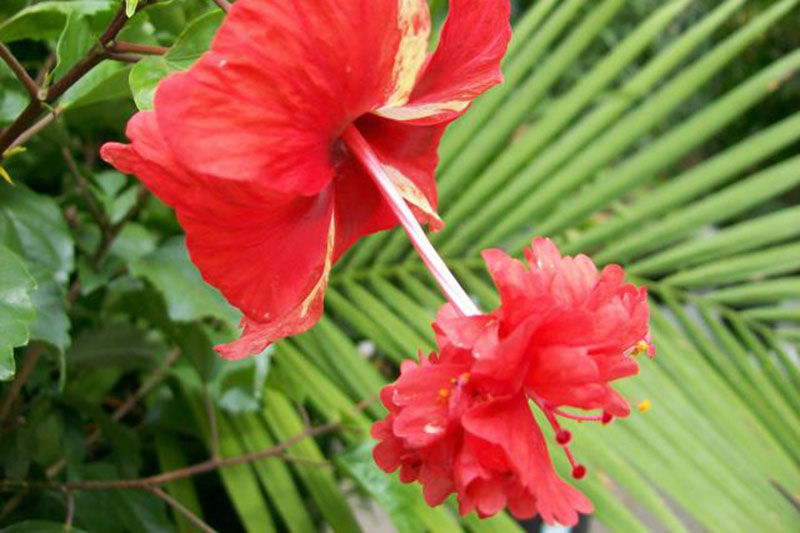 A close up of the bright red flower of the 'El Capitolio' variety of H. rosa-sinensis, with a unique double flower at the end of the staminal column, with a palm frond in soft focus in the background.