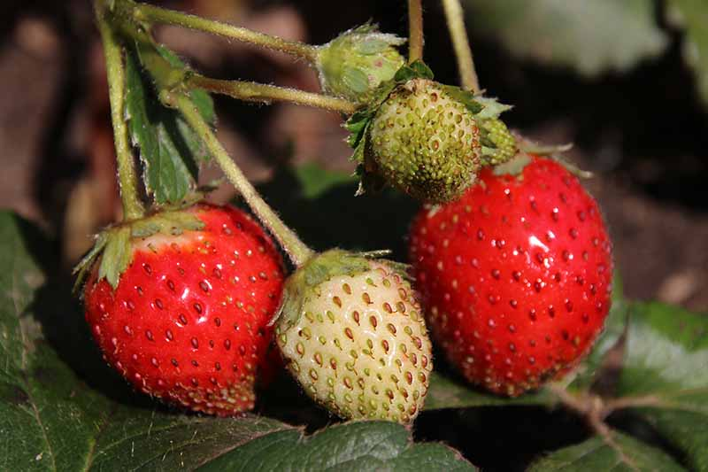 A close up of 'Elan' strawberries growing in the garden, with bright red ripe fruit alongside light white unripe fruits. The background is foliage in soft focus.