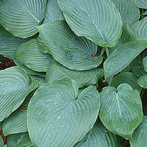A close up of the leaves of the 'Empress Wu' variety of hosta with large, textured flat leaves in dark green.