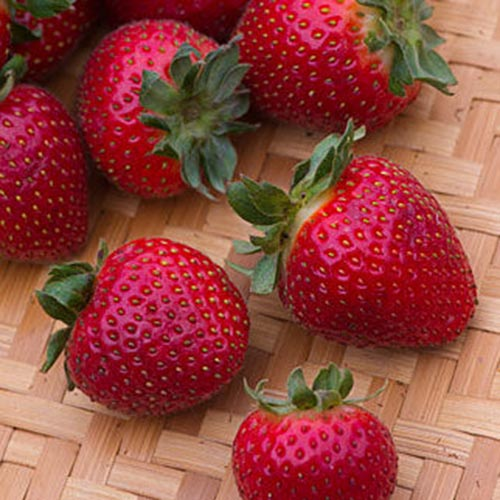 A close up of the red ripe 'Evie-2' strawberries set on a wicker surface.
