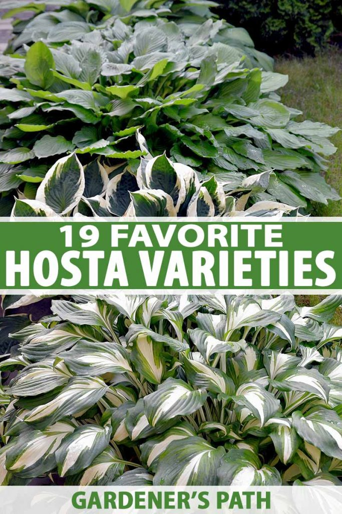 A vertical picture of a garden scene with various different cultivars of hostas growing in a border. To the center and bottom of the frame is green and white text.