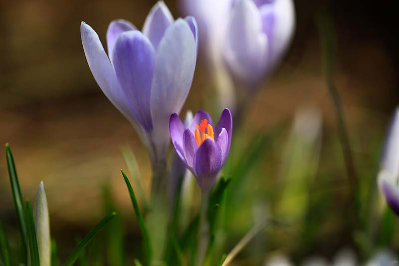 A close up of purple crocus flowers with orange centers set on a soft focus background.