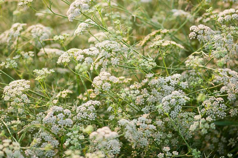 A close up of the white flowers of the cumin plant growing in the garden on thin, willowy stems in light sunshine.