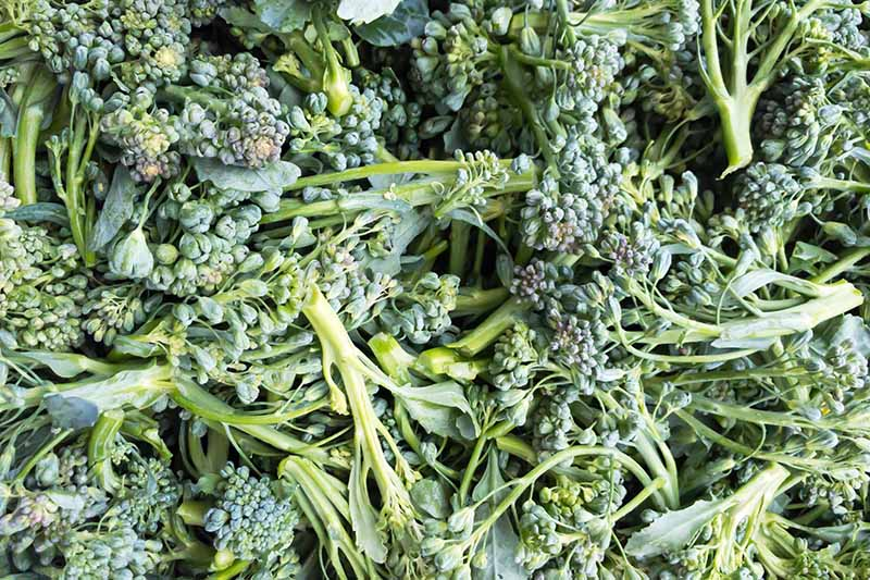 A close up top down picture of freshly harvested broccolini with pale green stalks and darker green florets.