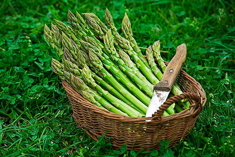 A close up of a wicker basket containing a fresh harvest of asparagus spears set on a lawn with a knife beside them.