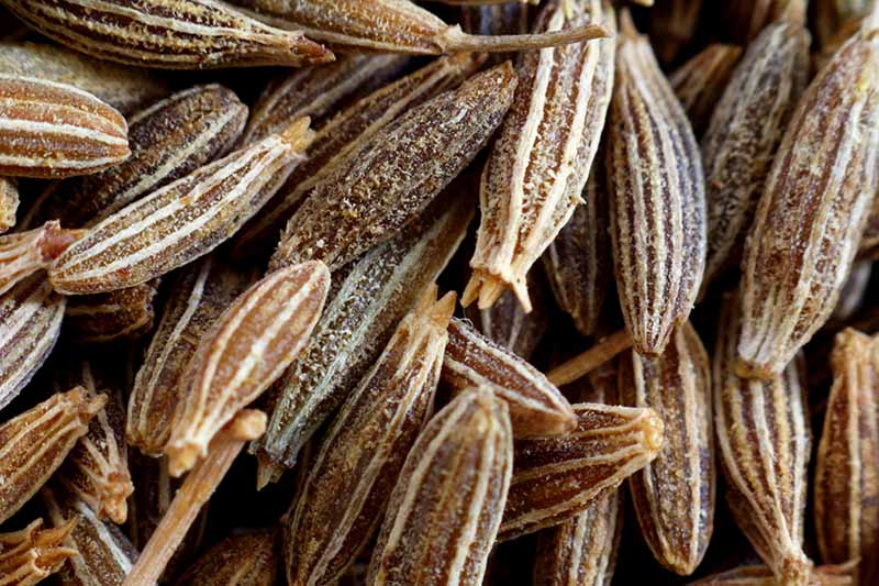 A close up of the dark brown, striped seeds of the Cuminum cyminum plant.