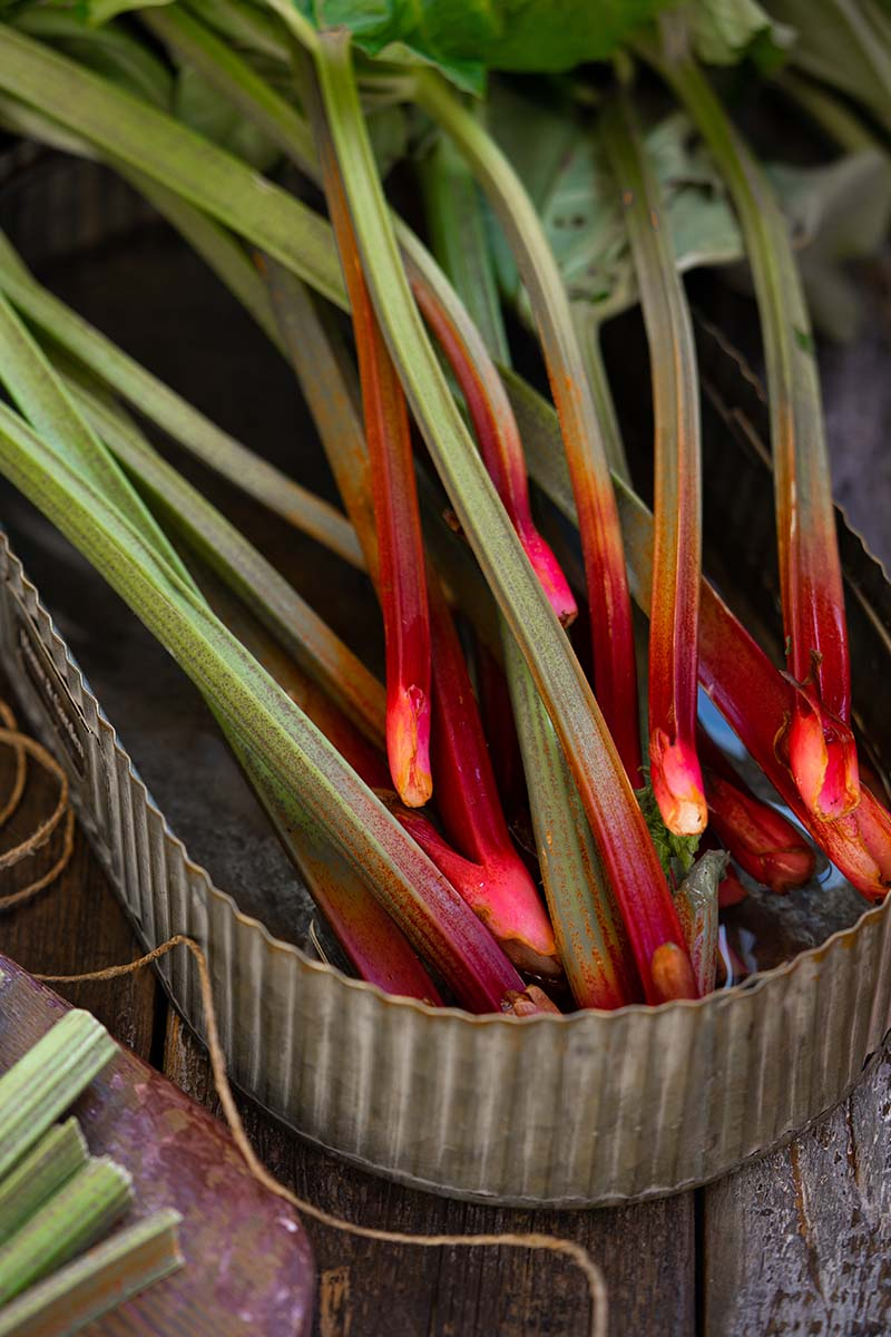 A close up vertical picture of freshly harvested rhubarb stalks with the foliage still attached, set in a metal tin with a little water, on a wooden surface.