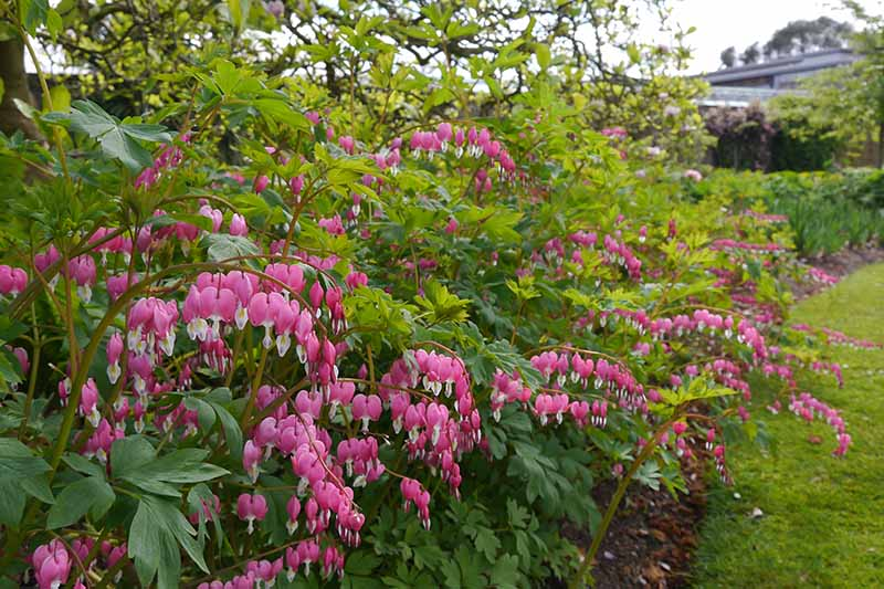A garden scene of a border with mixed plantings and a bleeding heart in full bloom with its pink flowers.