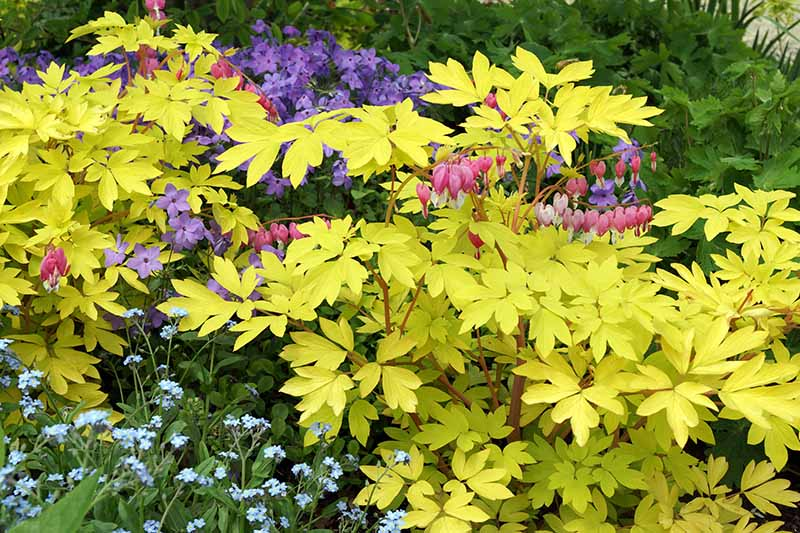 A garden border with mixed plantings and a large 'Gold Heart' variety of L. spectabilis featured prominently. Yellowish gold leaves contrast with the surrounding green foliage with pink and purple flowers.
