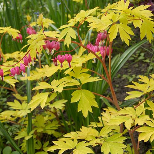 A close up of the yellow foliage and pink flowers of the 'Gold Heart' variety of L. spectabilis, pictured in a mixed planting in the garden, fading to soft focus in the background.
