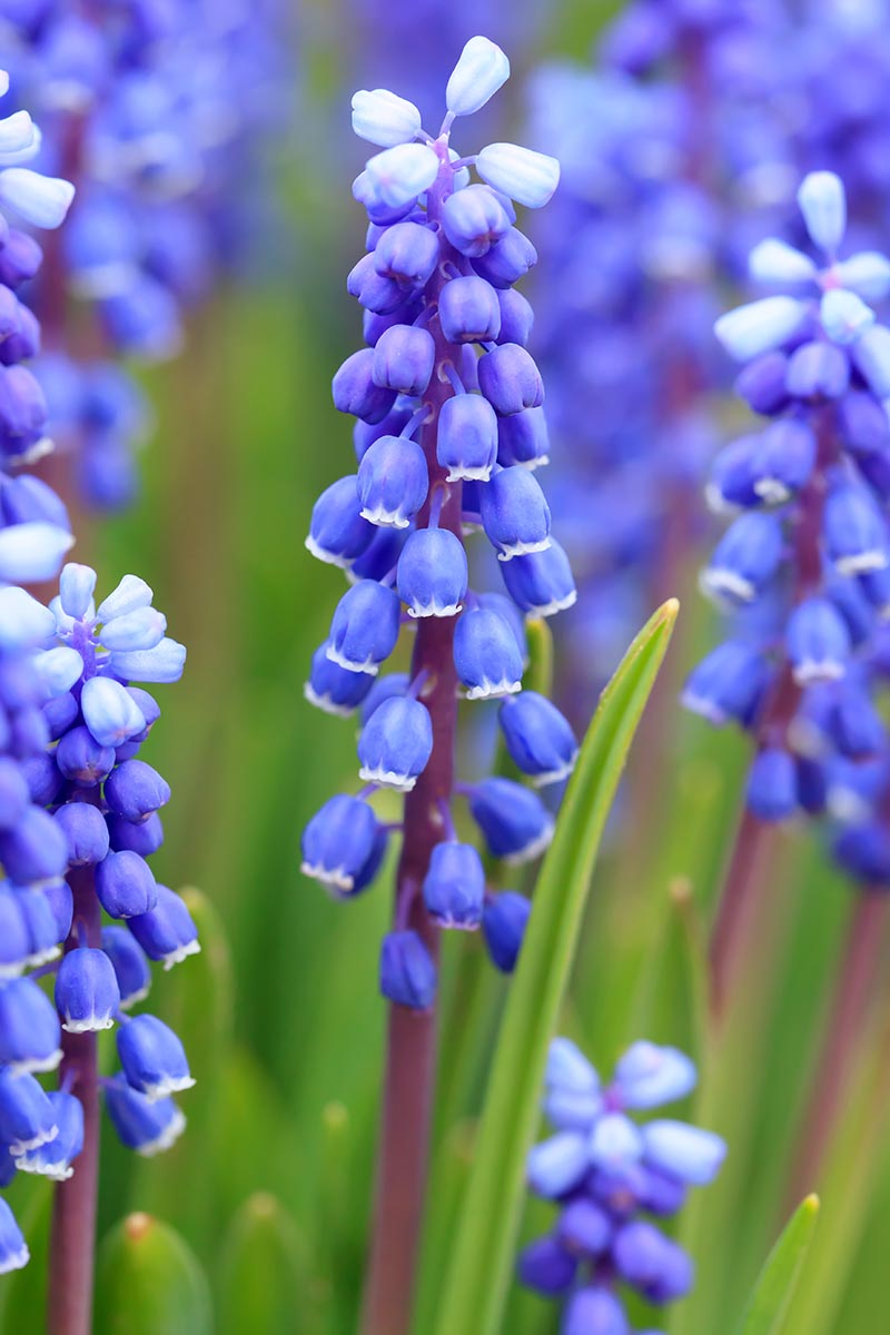 A vertical close up picture of blue grape hyacinth flowers with upright stalks on a soft focus background.