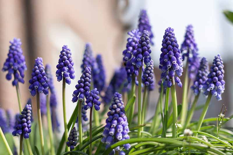 A close up of purple grape hyacinth flowers growing on long stems with upright foliage on a soft focus background.
