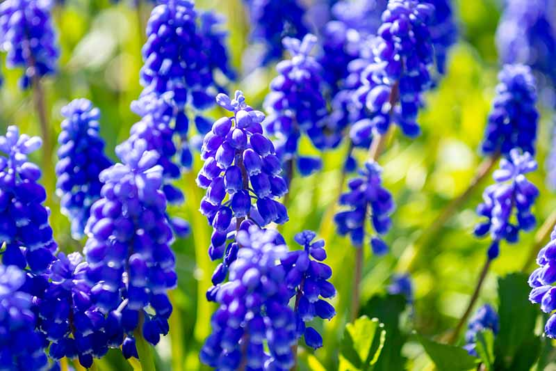 A close up of bright blue Muscari flowers growing in the spring garden in bright sunshine fading to soft focus in the background.