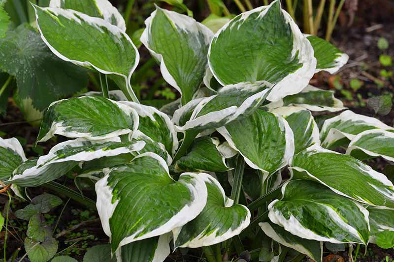 A close up of the leaves of the 'Patriot' variety with bright green centers edged in white, pictured in a garden scene fading to soft focus in the background.