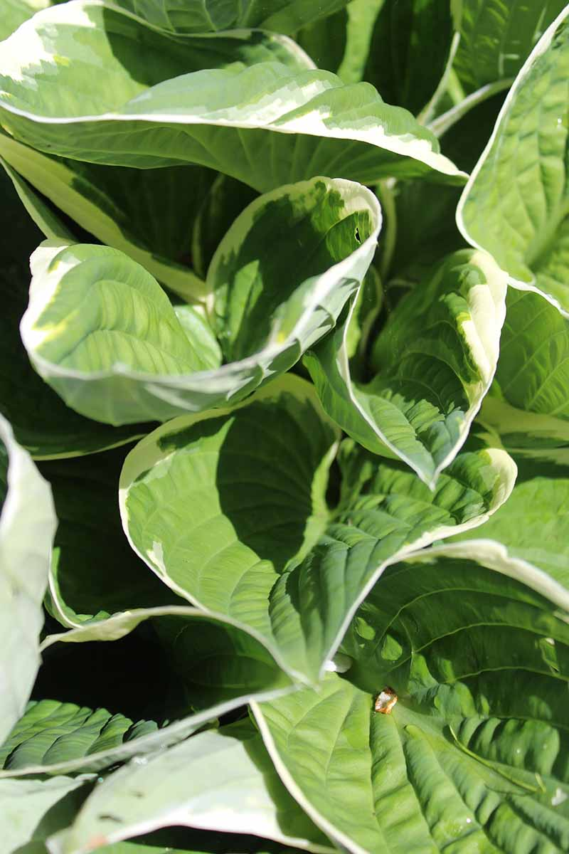 A vertical close up picture of bright green leaves with white edges of the hosta plant, pictured in bright sunshine.