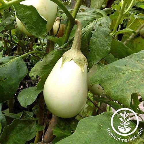 A close up of the creamy white oval fruit of the 'Gretel' variety of eggplant growing on the plant, surrounded by green foliage. To the bottom right of the frame is a circular white logo and text.