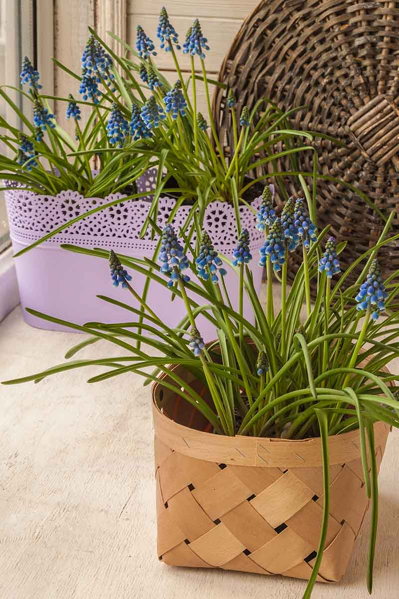 A vertical picture of grape hyacinth flowers growing in pots, to the right of the frame is a wicker pot, and to the left a purple rectangular planter, with a wicker basket in the background, set on a wooden surface.