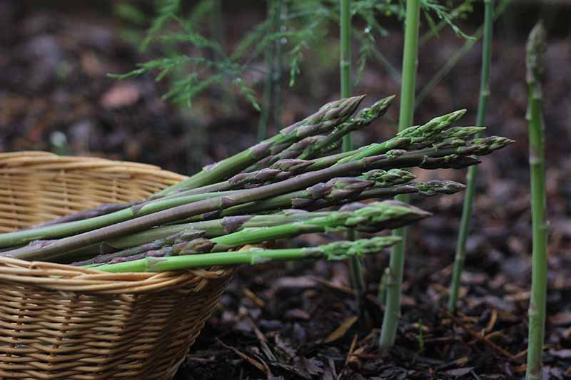A close up of freshly harvested asparagus spears in various shades of purple and green, in a wicker basket, set in the garden amongst those that are still growing in the ground.