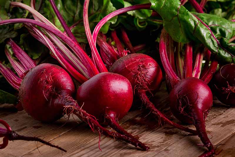 A close up of freshly harvested deep red beet roots with the taproot still attached and the purple stems with green leafy foliage, set on a wooden surface in a kitchen.