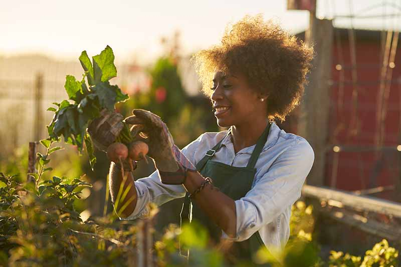 A woman lifts beet roots from the ground and inspects the greens in light evening sunshine with a garden scene in soft focus in the background.