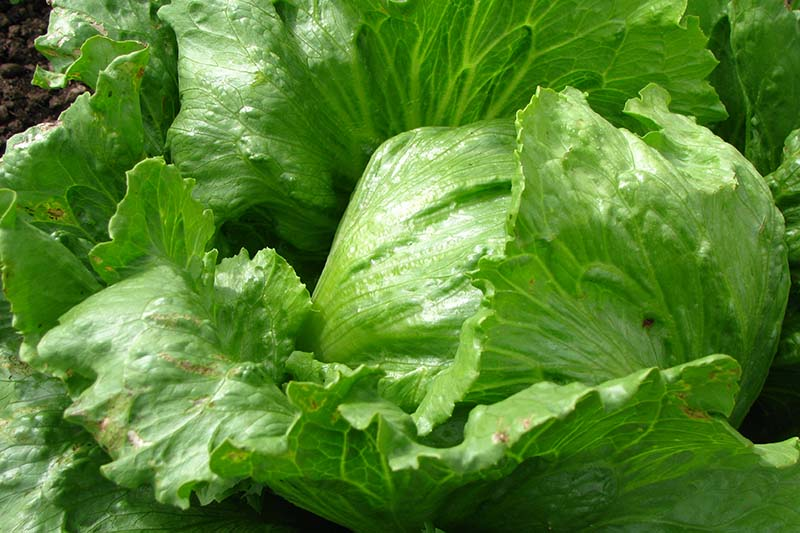 A close up of an iceberg lettuce head, with large leaves pictured in bright sunshine.