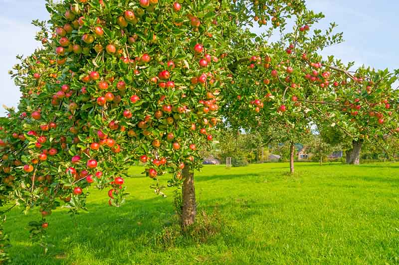 A healthy apple tree growing in a home orchard surrounded by green grass and with blue sky in the background.