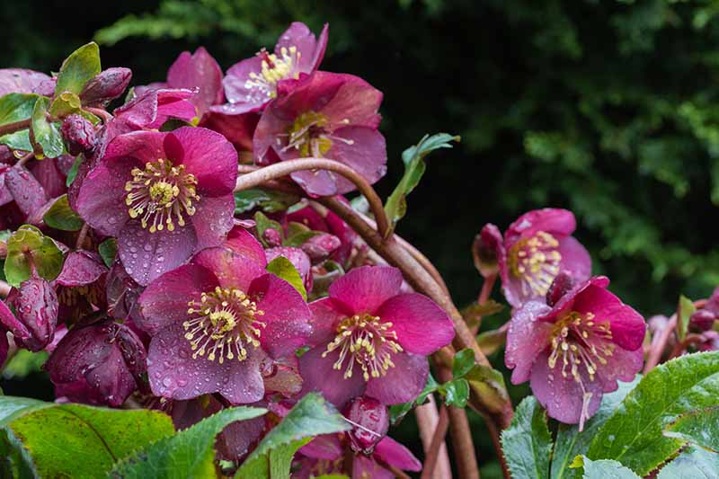 A close up of purple hellebores growing in the garden covered in water droplets surrounded by foliage on a soft focus background.