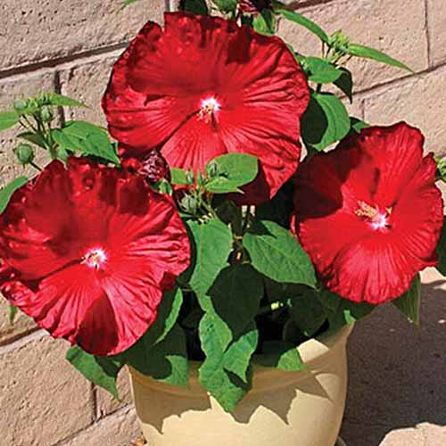A terra cotta pot with a small shrub with three large red blooms pictured in bright sunshine with a brick wall in the background.