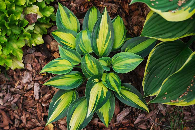 A top down close up picture of a 'Magic Island' hosta plant with thick cup-shaped foliage with dark green edged leaves accented with yellow and lighter green across the surface. Mulch surrounds the plant.