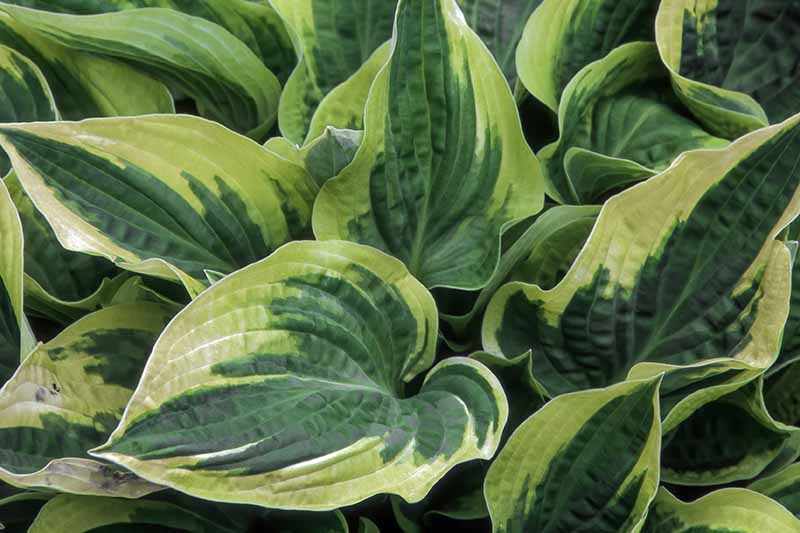 A close up of the leaves of the 'Wide Brim' cultivar of hosta with green leaves with deep bluish green centers edged with gold.