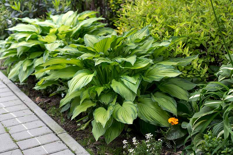 A garden border planted with various cultivars of hosta plants in a shady location surrounded by other plants and foliage in light sunshine fading to soft focus in the background.