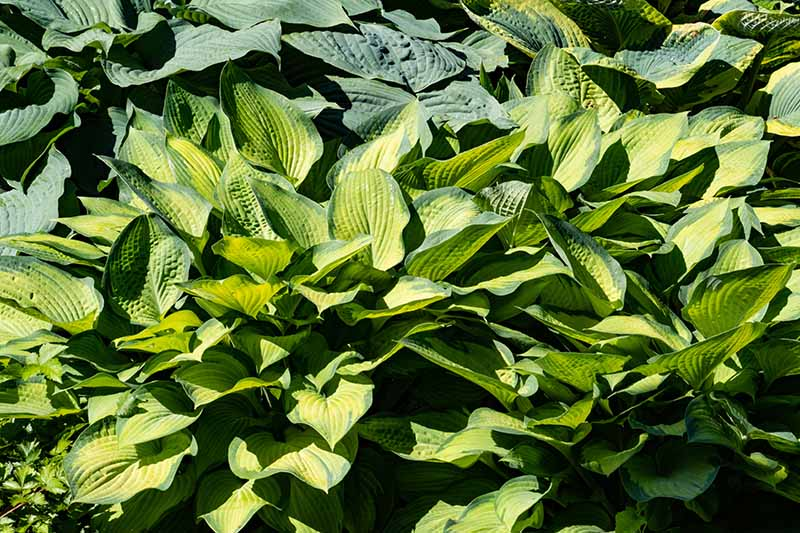 A close up of hostas growing in the garden, in the foreground is the 'Frances Williams' variety with yellowish leaves edged in dark green are pictured in bright sunshine.