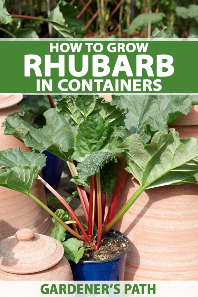 A vertical picture of a rhubarb plant growing in a small blue pot, with bright pink stalks and large leafy greens, to the left and the right are large terra cotta pots, pictured in bright sunshine. To the center and bottom of the frame is green and white text.