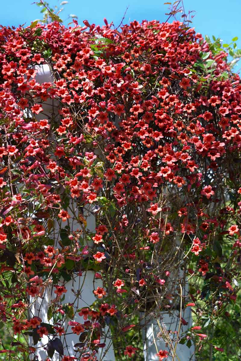 A vertical picture of a large crossvine, Bignonia capreolata, growing up the side of a white house, with bright red flowers and green foliage, pictured in bright sunshine with a blue sky in the background.