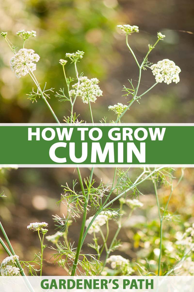 2 PACKS of CUMIN Garden HERB SEEDS
