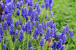 How to Grow and Care for Grape Hyacinth