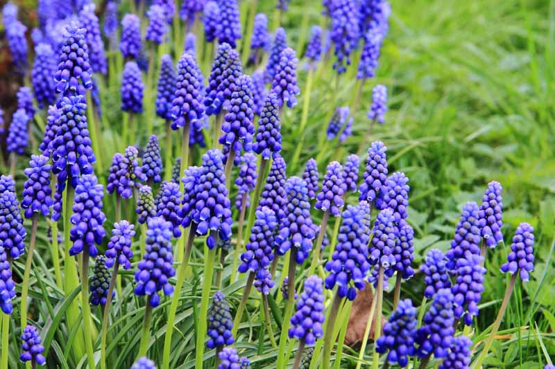 A close up of purple grape hyacinth flowers growing in the garden on upright stems surrounded by foliage fading to soft focus in the background.
