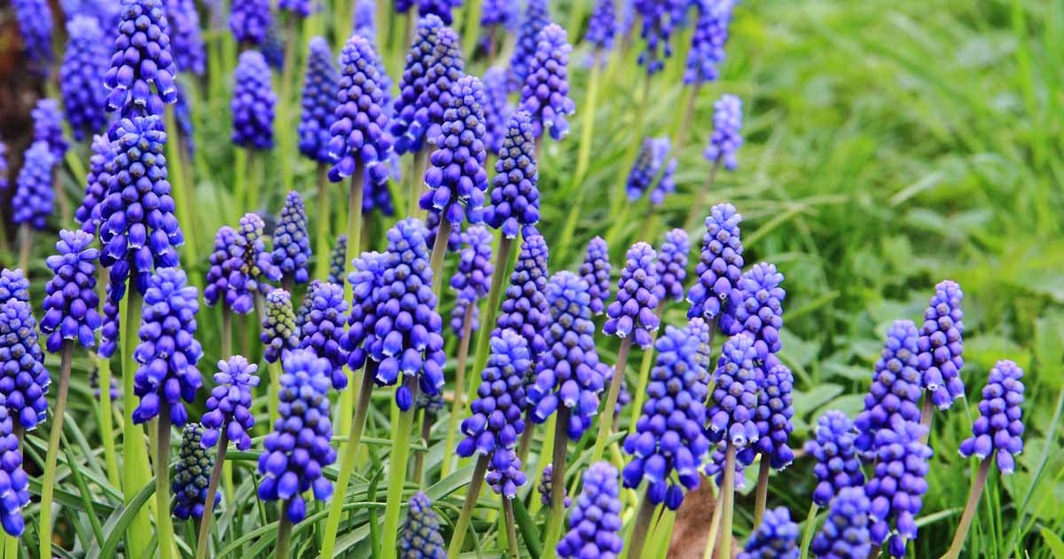 How To Grow And Care For Grape Hyacinth Gardener S Path