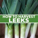 A vertical picture of freshly harvested leeks washed and roots removed set upright against a wooden background. To the center and bottom of the frame is green and white text.
